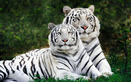 Two White Tigers 2